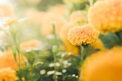 Marigolds or Tagetes erecta flower vintage Royalty Free Stock Image