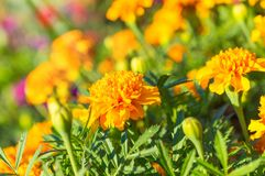 Marigolds - Tagetes erecta, Mexican , Aztec , African. Marigolds (Tagetes erecta, Mexican marigold, Aztec marigold, African marigold Royalty Free Stock Image