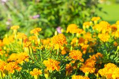 Marigolds - Tagetes erecta, Mexican , Aztec , African. Marigolds (Tagetes erecta, Mexican marigold, Aztec marigold, African marigold Stock Photos