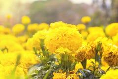 Free Marigolds (Tagetes Erecta, Mexican Marigold Royalty Free Stock Photography - 79863387
