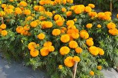 Marigolds Tagetes erecta, Mexican marigold, Aztec marigold, Afr. Ican marigold in garden Stock Image