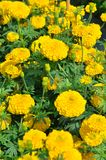 Marigolds Tagetes erecta, Mexican marigold, Aztec marigold, Afr. Ican marigold in garden Stock Images