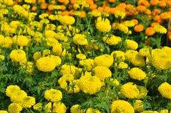 Marigolds Tagetes erecta, Mexican marigold, Aztec marigold, Afr. Ican marigold in garden Stock Photo
