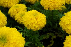 Marigolds Tagetes erecta, Mexican marigold, Aztec marigold, Afr Royalty Free Stock Photography