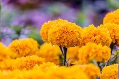 Marigolds (Tagetes erecta, Mexican marigold, Aztec marigold, Afr. Marigolds (Tagetes erecta, Mexican marigold, Aztec marigold, in garden Stock Photo