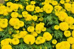 Marigolds Tagetes erecta, Mexican marigold, Aztec marigold, Afr Royalty Free Stock Photo