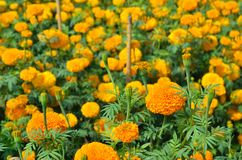 Marigolds Tagetes erecta, Mexican marigold, Aztec marigold, Afr Royalty Free Stock Photos