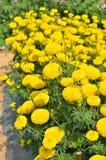 Marigolds Tagetes erecta, Mexican marigold, Aztec marigold, Afr. Ican marigold in garden Stock Photos