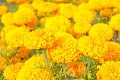 Marigolds Stock Photography