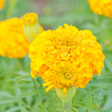 Marigolds Royalty Free Stock Photography