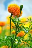 Marigolds Royalty Free Stock Photography