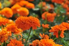 Marigolds Tagetes erecta, Mexican marigold, Aztec marigold, African marigold.  Stock Image