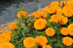 Marigolds Tagetes erecta, Mexican marigold, Aztec marigold, Afr. Ican marigold in garden Royalty Free Stock Images