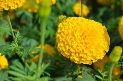 Marigolds Tagetes erecta, Mexican marigold, Aztec marigold, Afr. Ican marigold in garden Royalty Free Stock Image