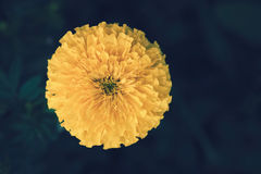 Marigolds Tagetes erecta Mexican marigold Aztec marigold African marigold. Yellow marigold on flower garden. top view Royalty Free Stock Image