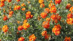 Marigolds or Tagetes stock video footage