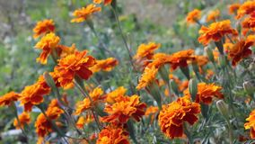 Marigolds or Tagetes stock video