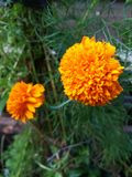 Marigolds, which are edible golden yellow flowers. stock photography