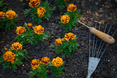 Marigot flowers. Stock Images
