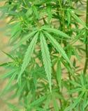 Marihuan rośliny Zdjęcia Stock