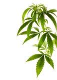 Marihuana royalty-vrije stock foto