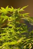 marihuana Zdjęcie Stock