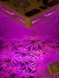 marihuana Stockfotografie