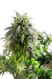Marihuana stockbild