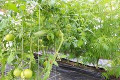 Marihuana (cannabis), hennepinstallatie het groeien binnen van groene ho stock foto