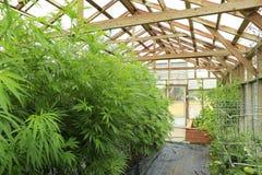 Marihuana (cannabis), hennepinstallatie het groeien binnen van groene ho stock afbeelding