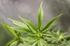Marihuana, das in einem Zelt wächst Stockbild