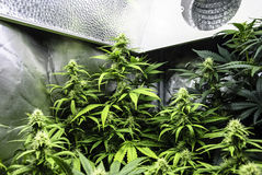 Marihuana, das unter Licht blüht Lizenzfreie Stockfotos