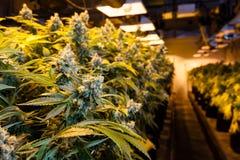 Marihuana in einem Wachsungsraum unter Lichtern