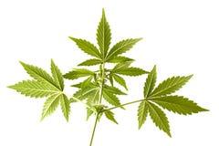 Marihuana het groeien bloem dicht omhoog Royalty-vrije Stock Foto's