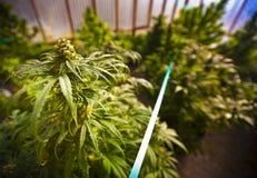 Marihuana im Gewächshaus lizenzfreies stockfoto