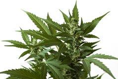 Marihuana kwiatu zakończenie w górę tapety Obrazy Royalty Free