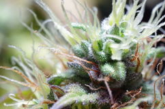 Marihuana kwiaty Zdjęcia Royalty Free