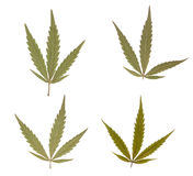 Marihuana leaves Stock Image