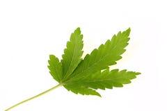 marihuana liść obrazy royalty free