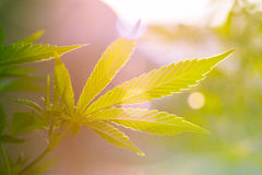 Marihuana liść zdjęcia royalty free