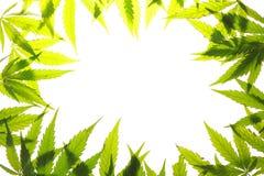 Marihuana liścia zieleń opuszcza marihuana konopie fotografia stock