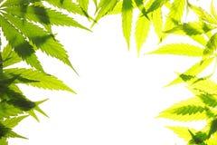 Marihuana liścia zieleń opuszcza marihuana konopie Zdjęcie Royalty Free