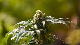 marihuana medyczna Zdjęcie Stock