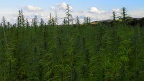 Marihuana medyczny konopie na polu z niebem i wzgórzami zbiory wideo