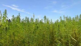 Marihuana medyczny konopie na polu z niebem i wzgórzami zdjęcie wideo
