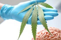 Marihuana Narkotyzuje, analiza marihuana w laboratorium obrazy stock