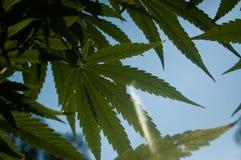Marihuana opuszcza w niebieskim niebie z świeceniem słońce Fotografia Royalty Free