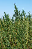 Marihuana plantation Stock Photography