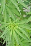 marihuana r domowa marihuana domowa Zdjęcie Royalty Free
