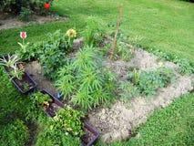 Marihuana in tuin Royalty-vrije Stock Afbeelding